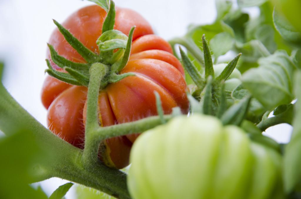 Tomaten Costoluto Genovese.